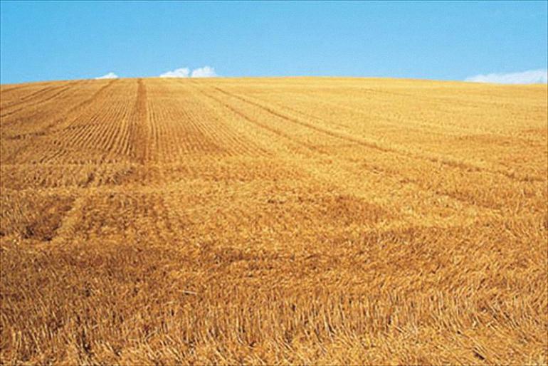 Castilla La Mancha Asaja estima una reducción de casi el 70 por ciento en la cosecha de cereales en nuestra región