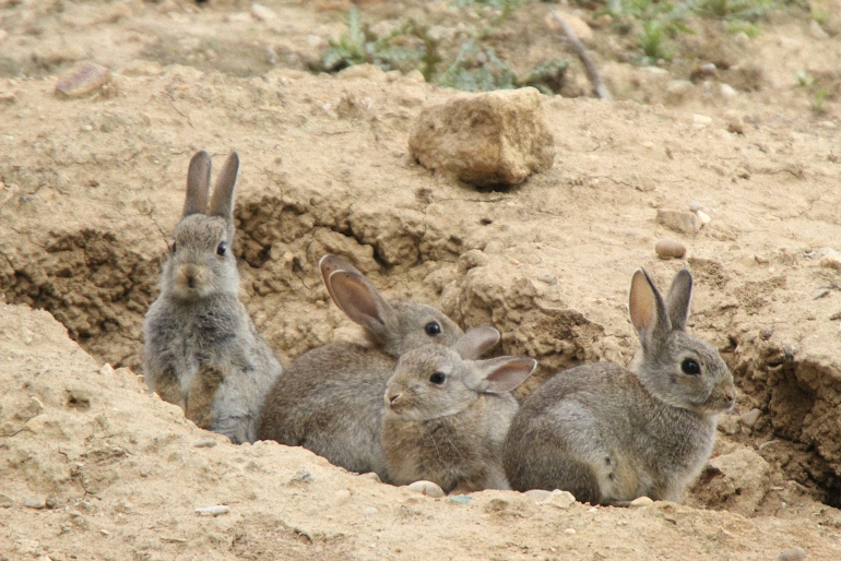 La Federación de Caza de Castilla La Mancha solicita medidas de apoyo a la Junta para paliar las plagas de conejos