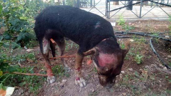 Carrión de Calatrava Manifestación contra el maltrato animal tras la muerte del perro quemado vivo con gasolina.-